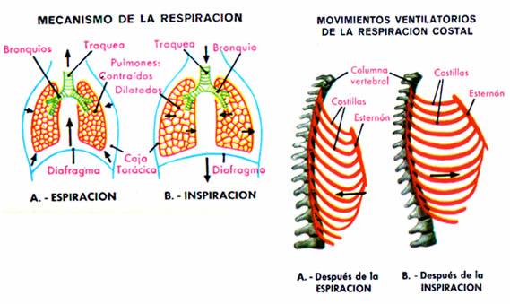 mecanismos-respiracion